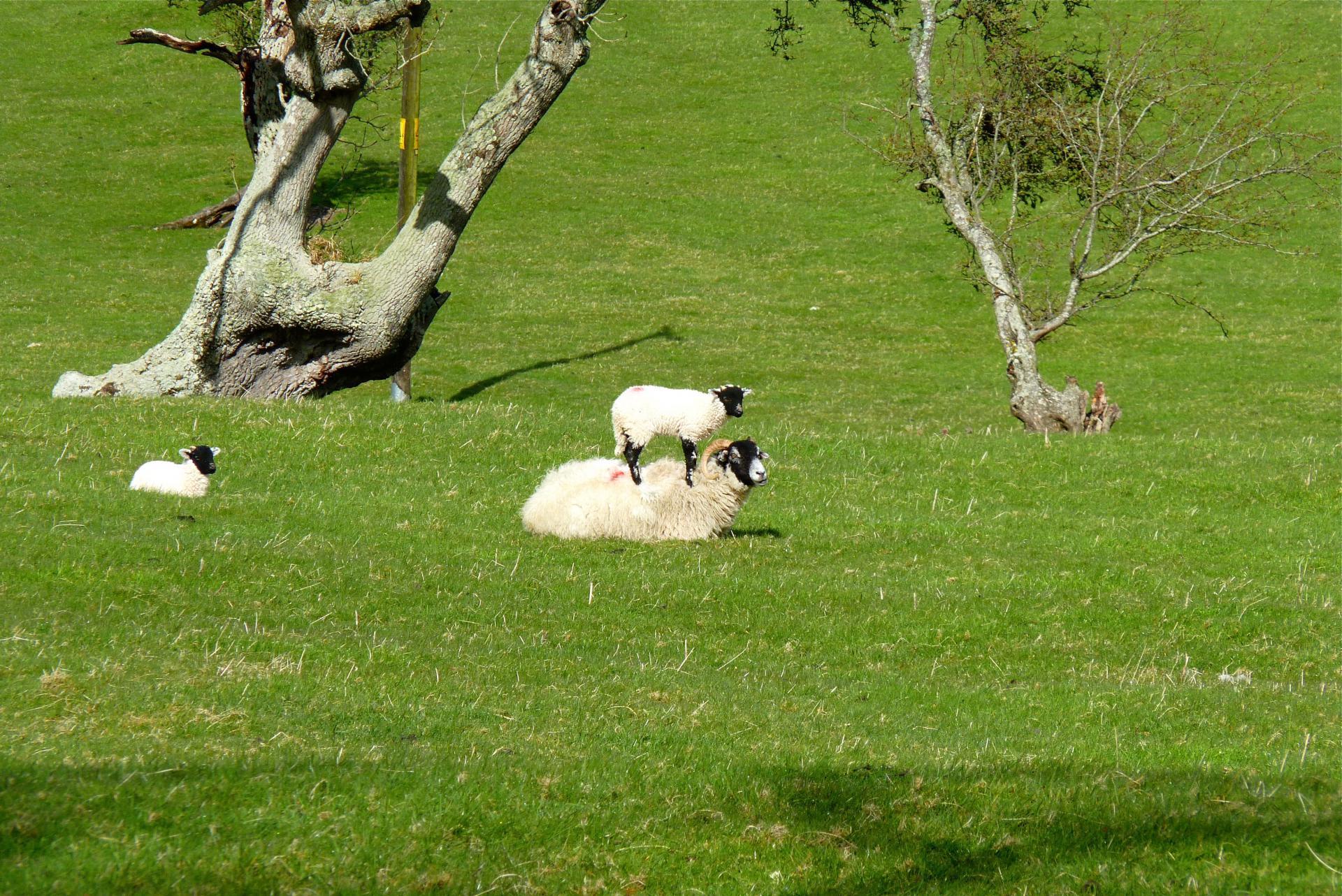 Lamm auf Schaf