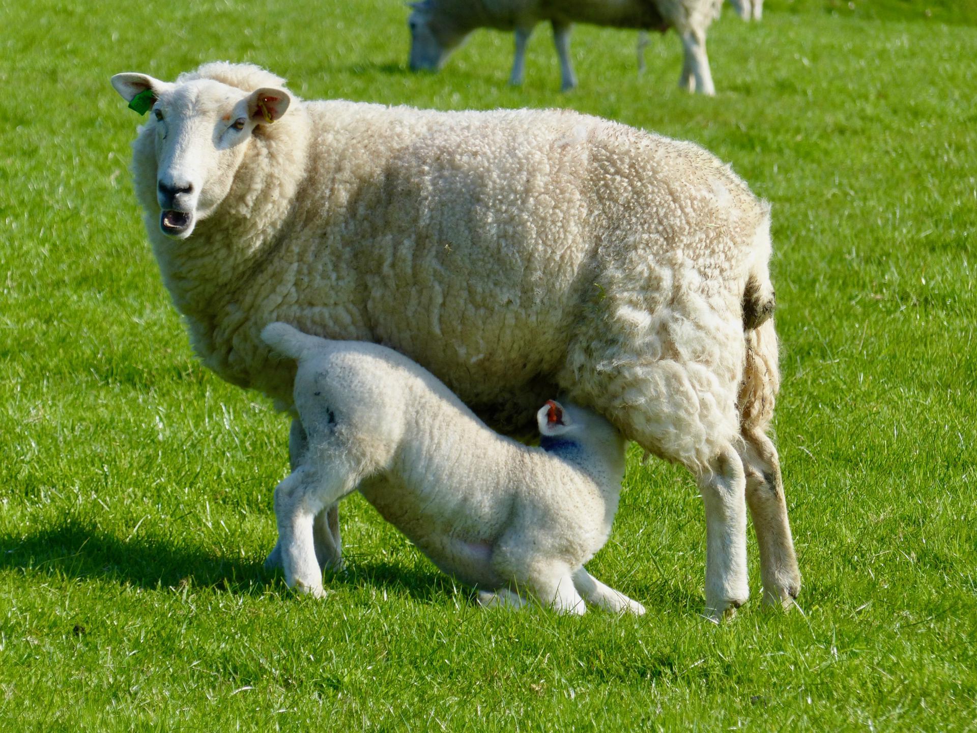 In Wales gibt es viele Schafe!