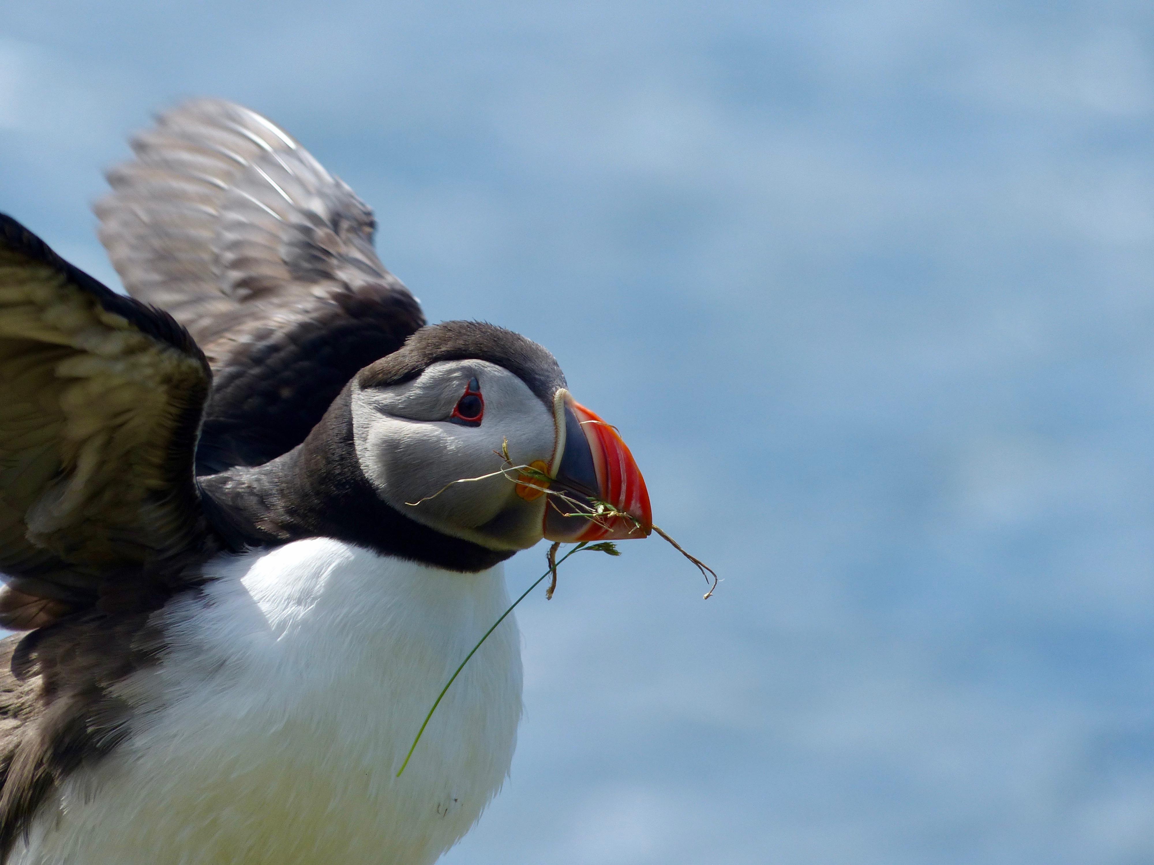 Papageitaucher mit Nistmaterial