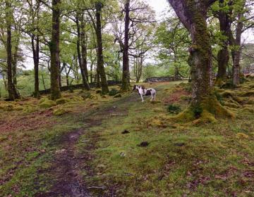Pony im Wald von Ganllwyd, oder war es ein Einhorn?