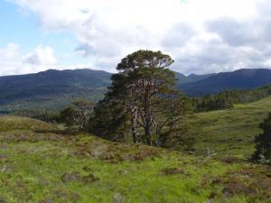 Scots Pine in Glen Affric