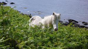 Eriskay Pony auf Holy Isle