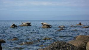 Robben an der Küste von Arran