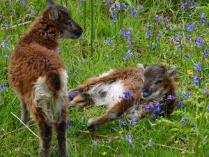 Soay Schafe auf Holy Isle