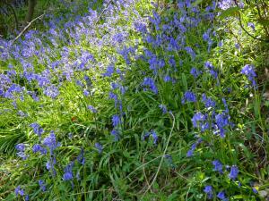 Frühling ist Bluebells Zeit