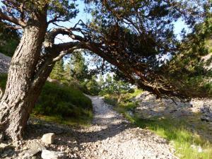 Scots Pines säumen die Pfade