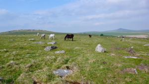 Ponies auf Bodmin Moor