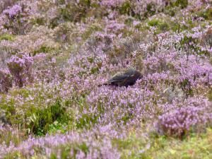 Schottisches Moorschneehuhn