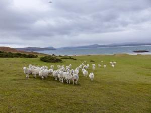 Schafe bei Redpoint