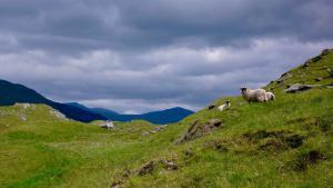Schafe in Glen Lyon