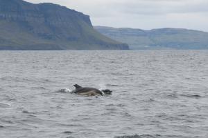 Delfine auf der Überfahrt nach Lunga von Mull