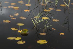 Seelilien im Regen