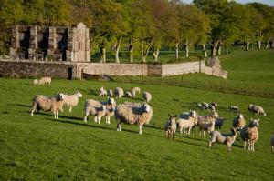 Schafe vorm Friedhof