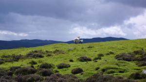 Schafe in den südlichen Highlands