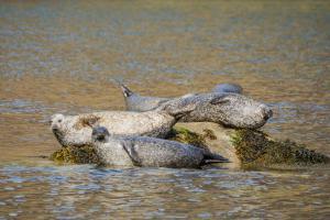 Robben bei Loch Coruisg, Skye Fotoreise